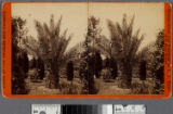 Date palms, Los Angeles, Cal....