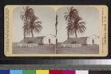 Recto of Date Palm Trees, Old...