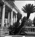 Cycas revoluta specimen on the terrace of the Huntington residence with the loggia in the...