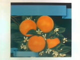 Stock label: four oranges on branch with leaves and blossoms.