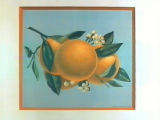 Stock label: four oranges and blossoms on branch.